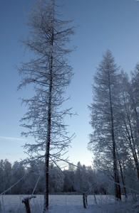 Sibiriska lärkar